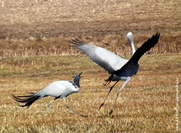 Blue Cranes dancing on Colbourne farm - By John Hill
