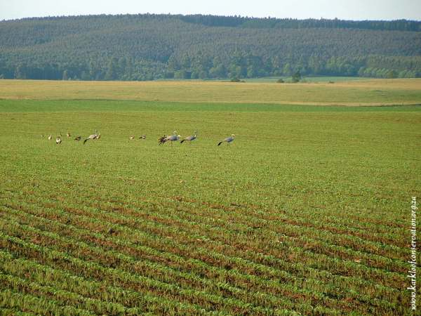 Blue Cranes on Gartmore Farm