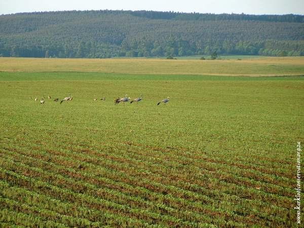 Blue Cranes on Gartmore Farm