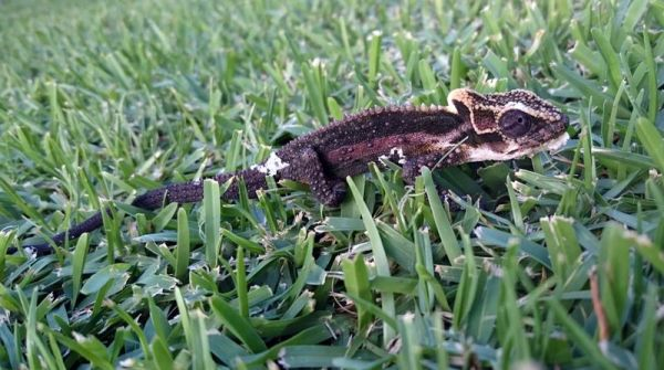 Saw this chameleon making his way across the lawn... unusually dark colours, but looks like he's just shed his skin.