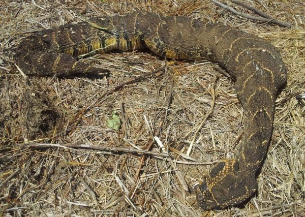 Dead Puffadder killed by dog