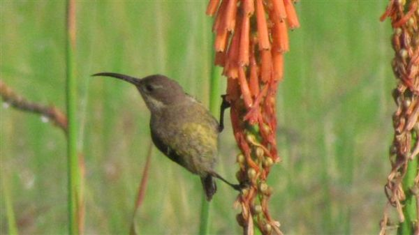 Female malachite sunbird on kniphofia