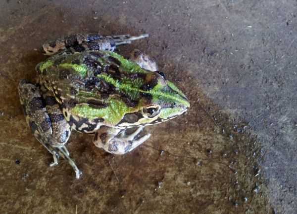 Frog in shed