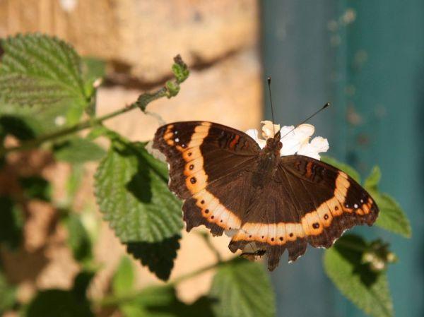 Garden Commodore or Garden Inspector (Precis archesia)