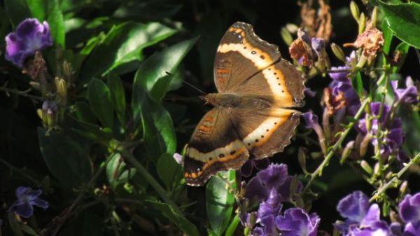 Garden Commodore