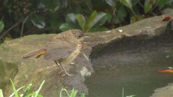 Juvenile Cape Robin-Chat