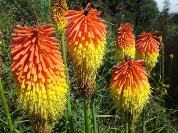 Kniphofia caulescens - Red Hot Poker