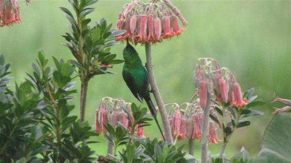 Male malachite sunbird