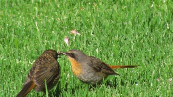 Mom Cape Robin-Chat still feeding juvenile after 6 weeks.