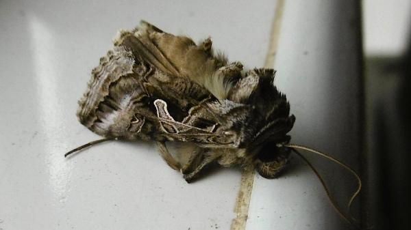 Moth Eggar Moth sp family Lasiocampidae
