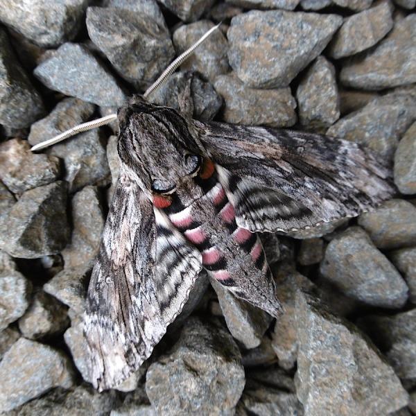 Moth Hawk Moth sp Family Sphingidae