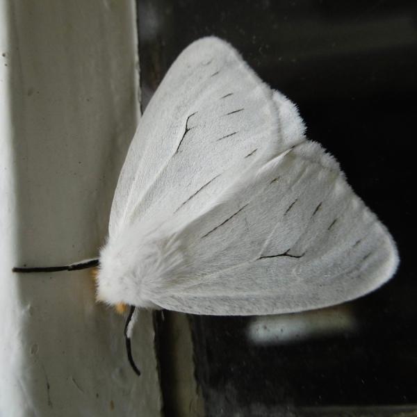 Moth P1020353