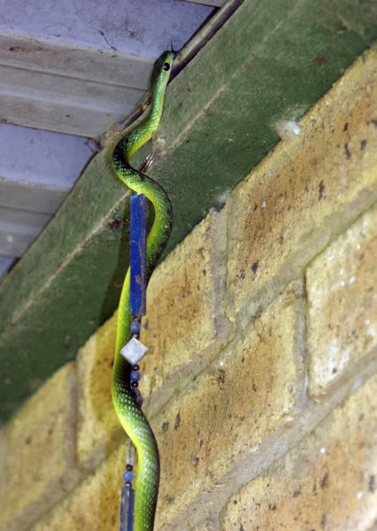 Natal Green Snake climbing into roof