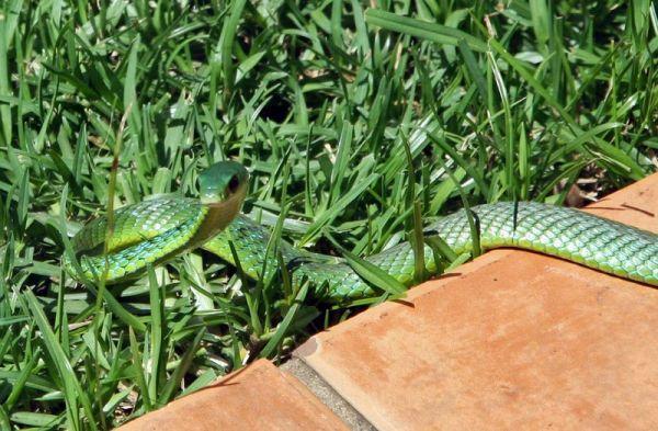 Natal Green Snake on paving 1