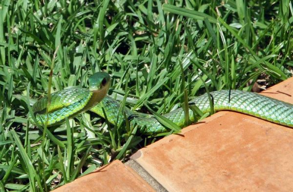Natal Green Snake on paving 1