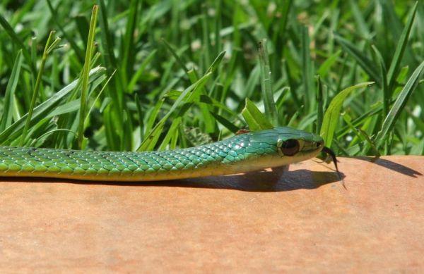Natal Green Snake on paving 2