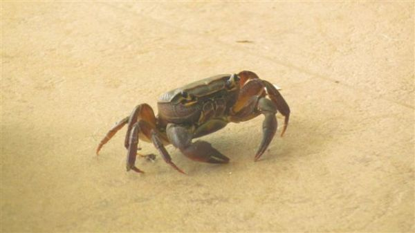Not sure what kind of crab this is