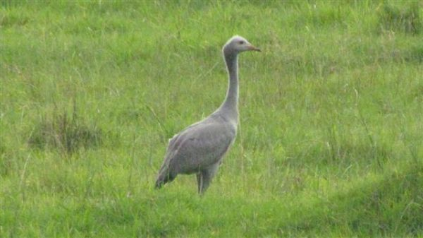 Our young blue crane is now two and half months old