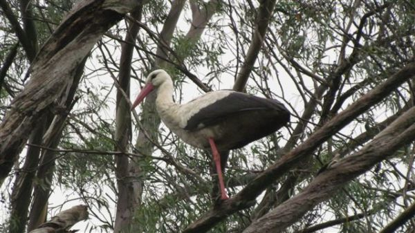 White Stork roosting in gum tree.