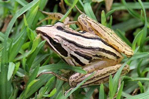 Amphibian Striped Stream Frog Strongylopus fasciatus IMG_2990