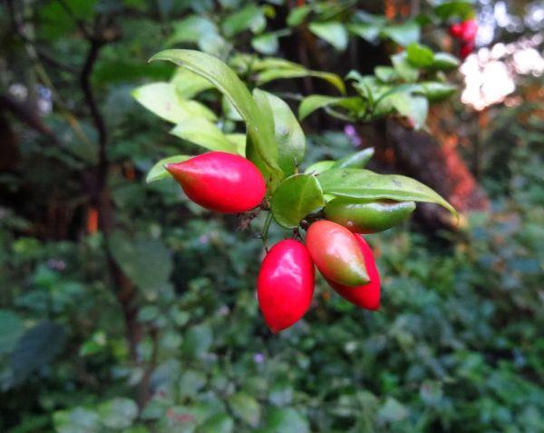 Carissa bispinosa fruit