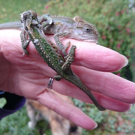 Midlands Dwarf Chameleon