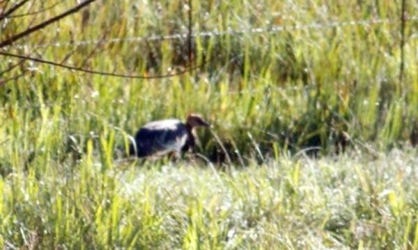 Surviving Grey Crowned Crane