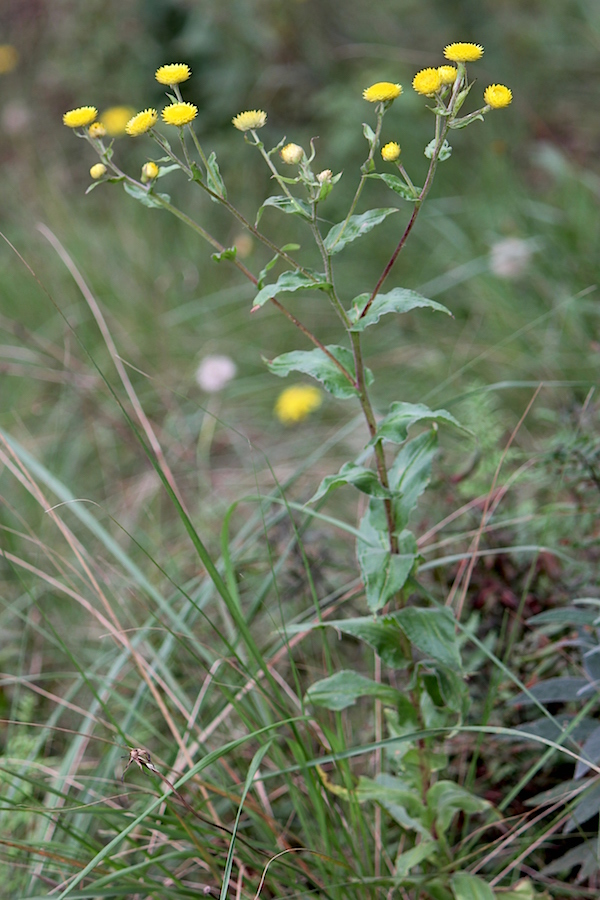 Helichrysum cooperi