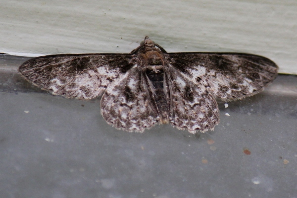 Insect Moth IMG_2969
