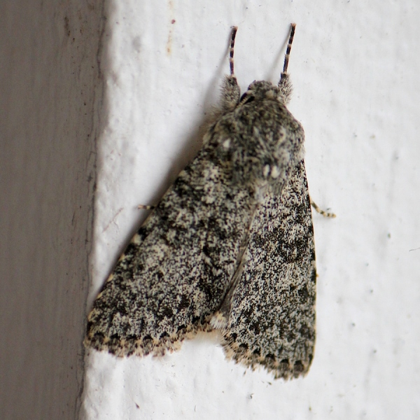 Insect Moth IMG_2983