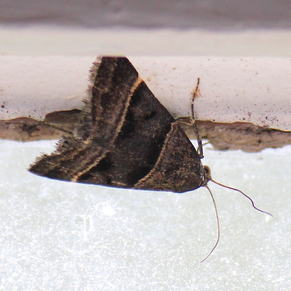 Insect Moth IMG_2985