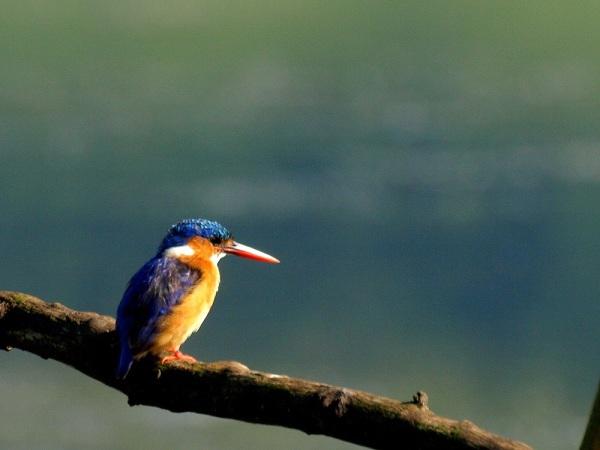 Malachite Kingfisher by Patrick Cahill