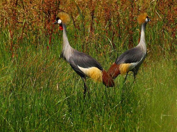 Pair of Grey Crowned Cranes