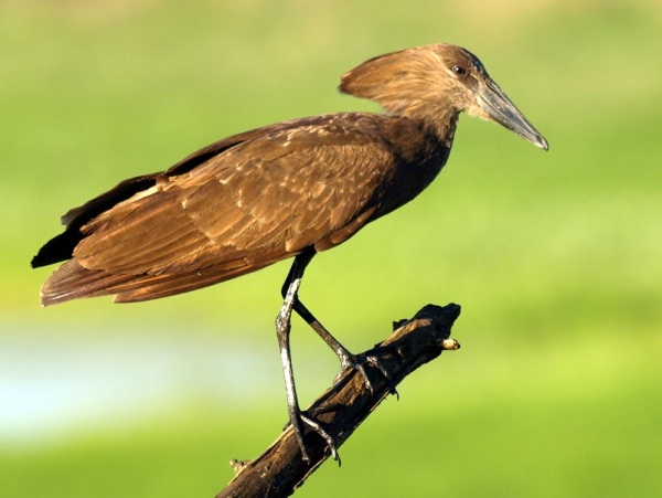 Hamerkop by Patrick Cahill