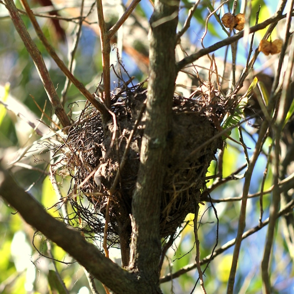 Olive Thrush nest