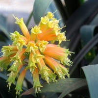 Threatened Plant Species - Clivia gardenii