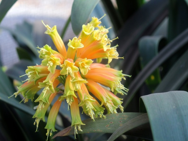 Clivia gardenii by Sthembile Zondi