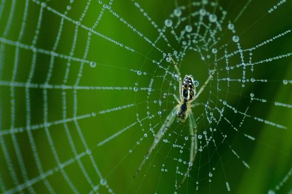 Silver Vlei Spider