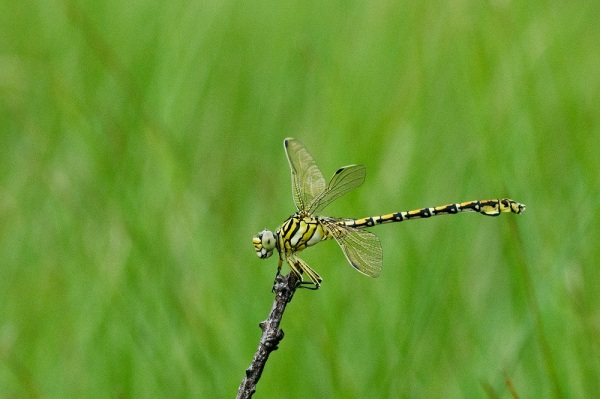 Common Thorntail dragonfly