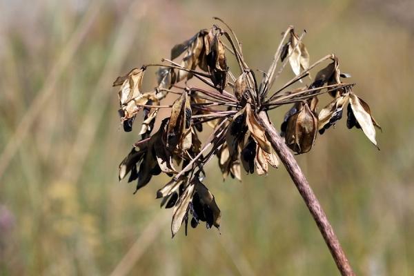 Agapanths campanulatus seedhead