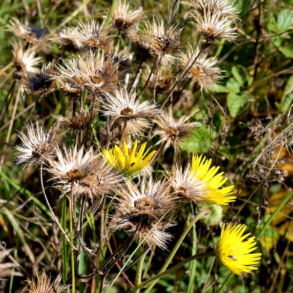 Berkheya setifera seedheads