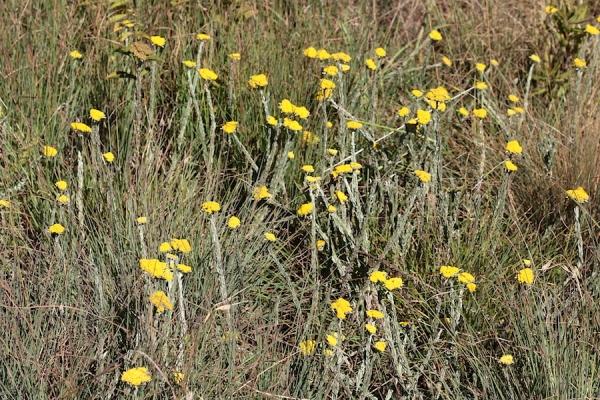 Helichrysum glomeratum