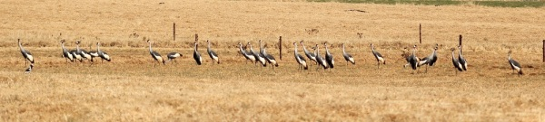Part of a large group of Grey Crowned Cranes