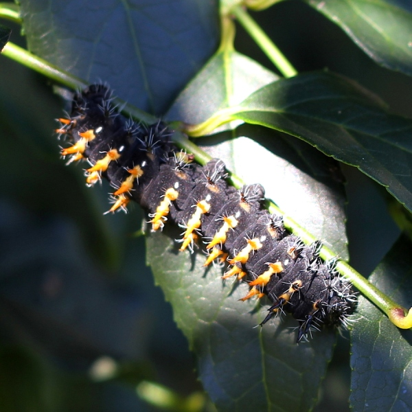 Common or Cabbage Tree Emperor caterpillar -  Bunaea alcinoe