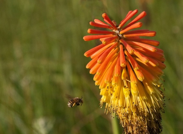 Kniphophia and bee