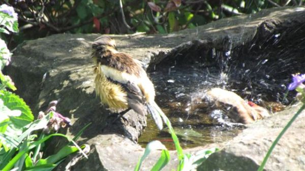 Buff-streaked Chats having a bath one hot morning