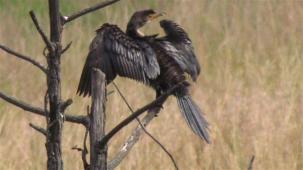 Reed cormorant drying its wings after diving in and out the pond all morning eating crabs and frogs.