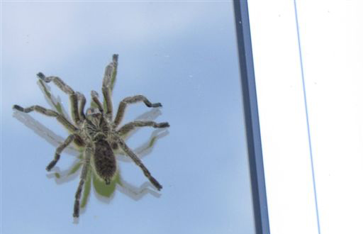 Common baboon spider