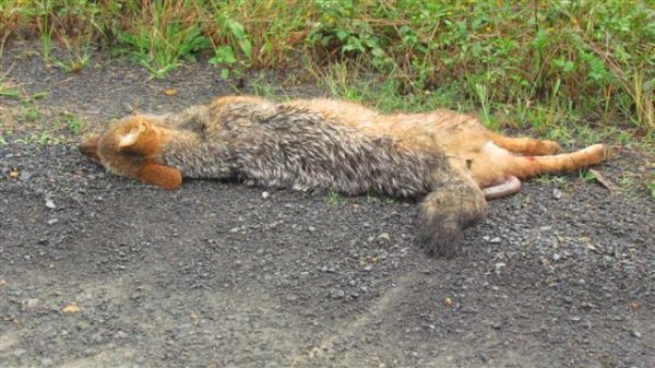 Dead jackal on D17 - run over during the night.