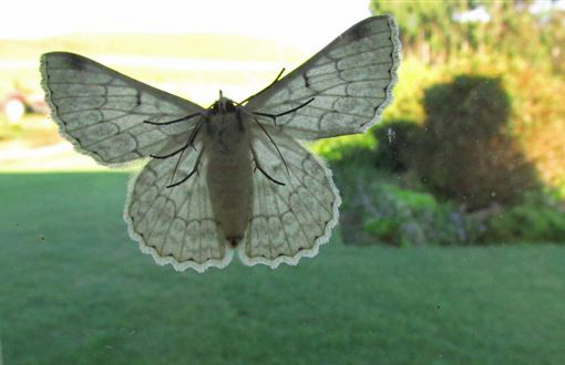 This moth was on the window when I drew the curtains one morning - no idea of its identity.